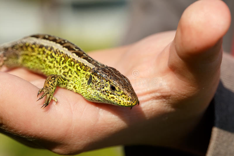 Small lizard Lacerta agilis in hand. Macro of small garden lizard Lacerta agilis in hand royalty free stock photography