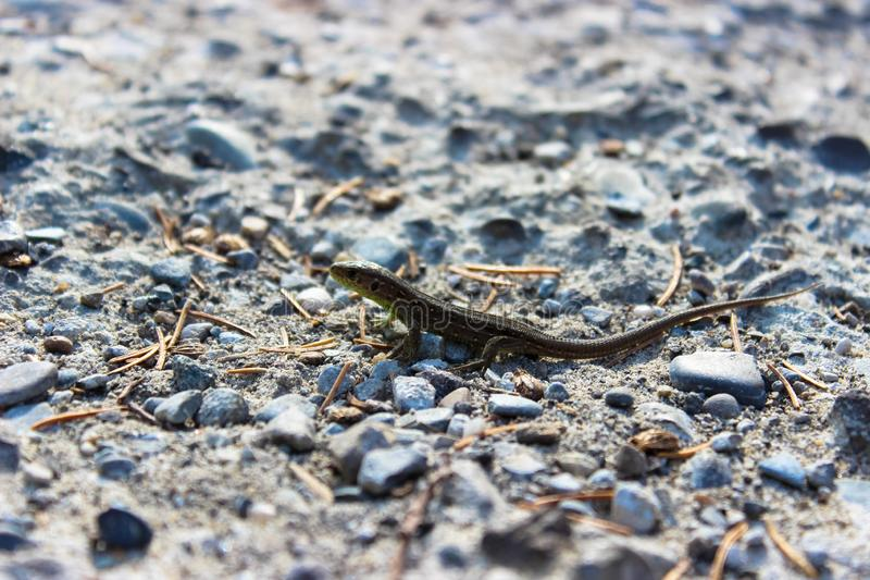 A small lizard is photographed very closely. On a gray stone stock images
