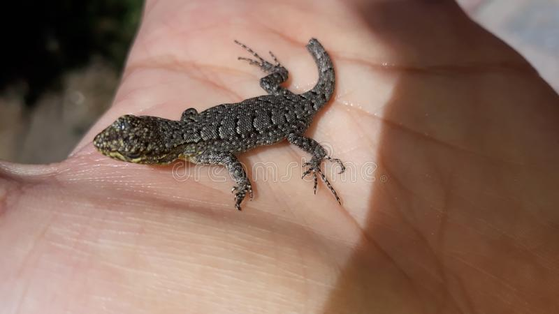 Small lizard rescued stock images