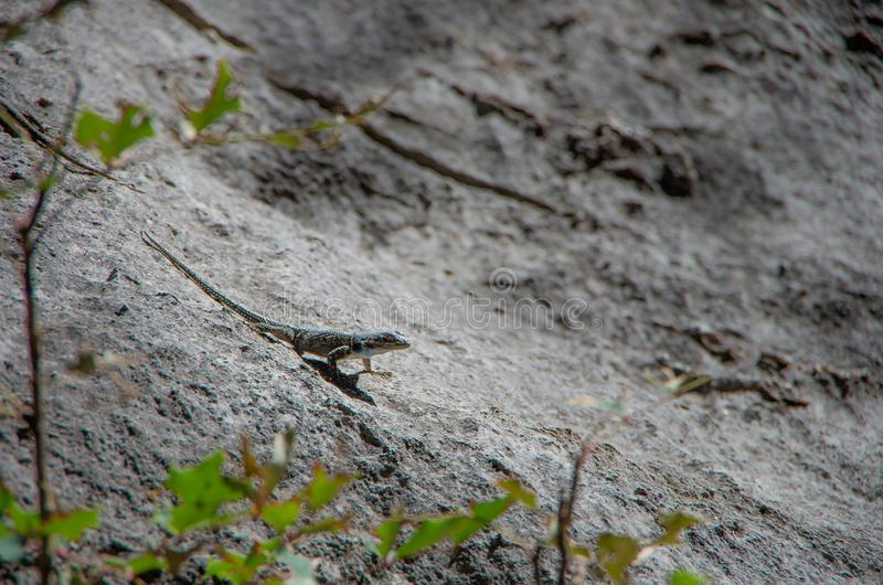 Small lizard on a rock royalty free stock photos
