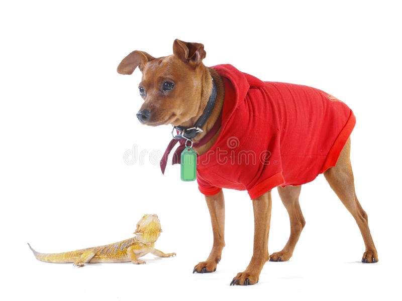 Small Lizard and Smiling Dog. A small Bearded Dragon lizard looking up at a smiling Brown Minpin (Miniature Pinscher) dog dressed up in a red devil hoodie stock photo