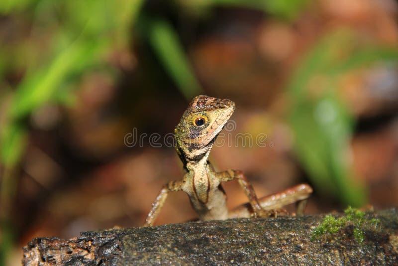 Small Lizard. A small lizard from Sri Lanka is watching stock photo