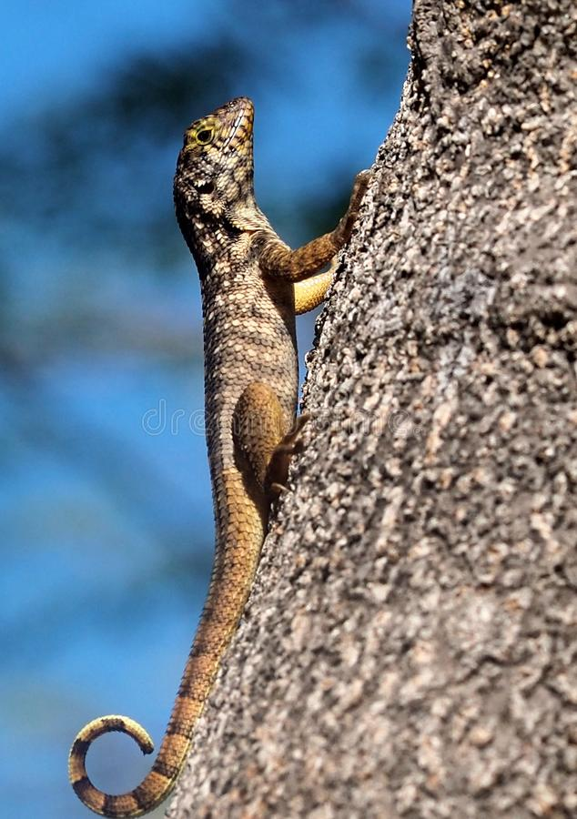 Small Lizard On Tree. Small lizard with curly tail resting on tree in Cuba royalty free stock photos
