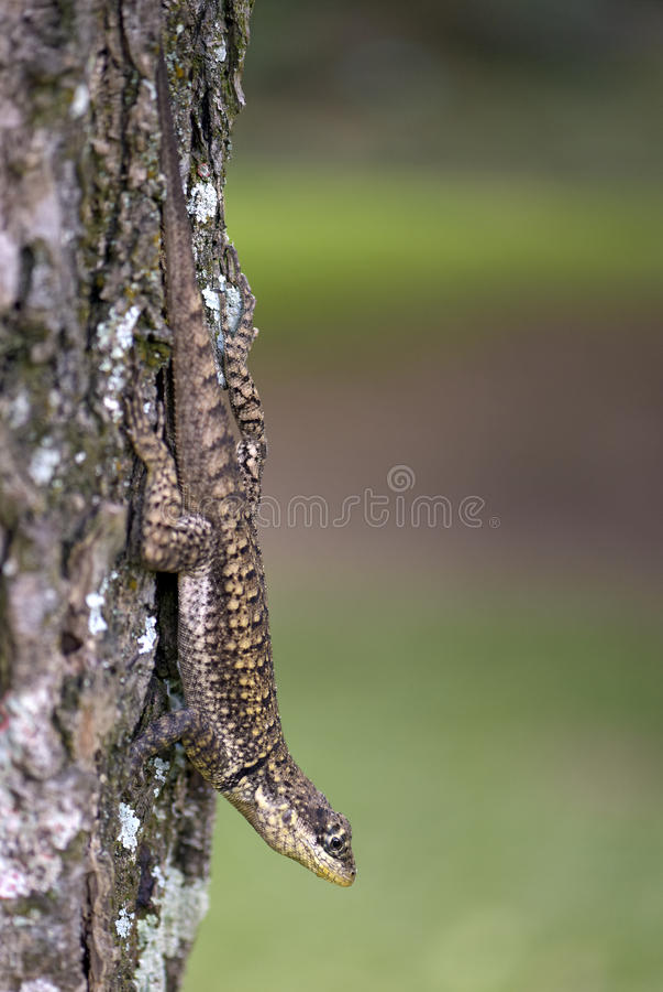 Free Small Lizard Tropidurus Oreadicus Stock Images - 67129764