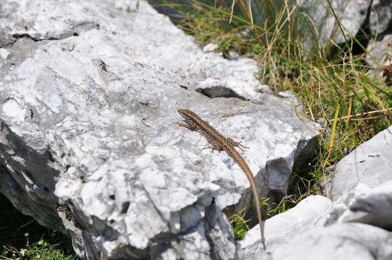 Download Lizzard on a rock stock image. Image of pictures, european - 103817179