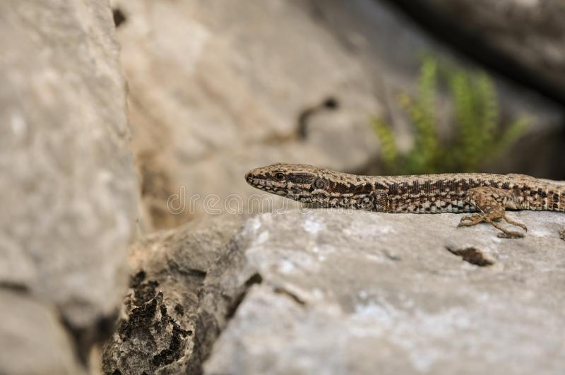 Download Lizzard on a rock stock photo. Image of poster, royalty - 103817280