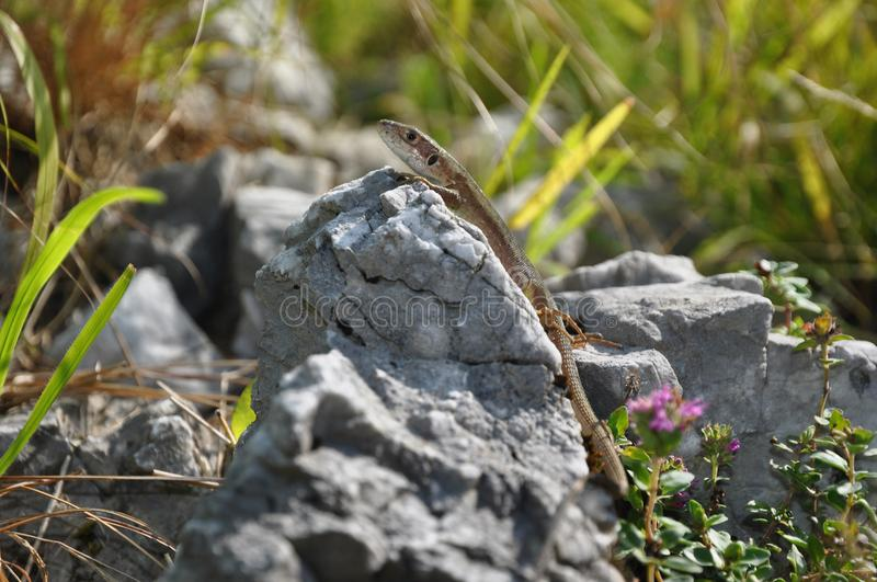 Download Lizzard on a rock stock photo. Image of nature, lizard - 103803584