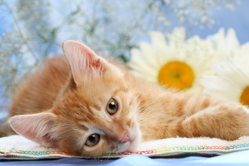 Small lovable kitten with camomiles. Background royalty free stock photo