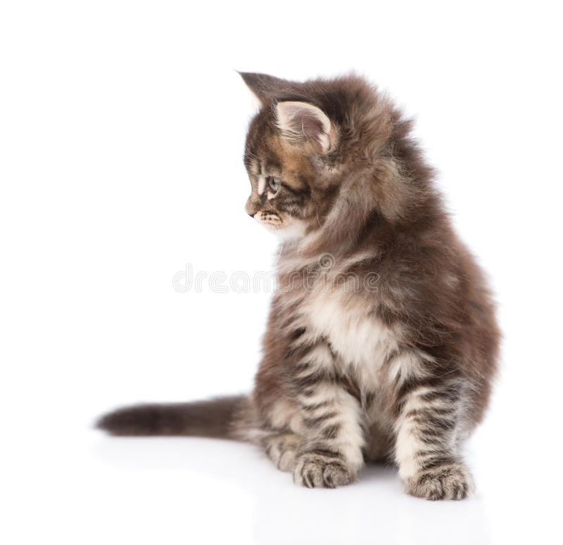 Small maine coon kitten looking away. isolated on white royalty free stock image