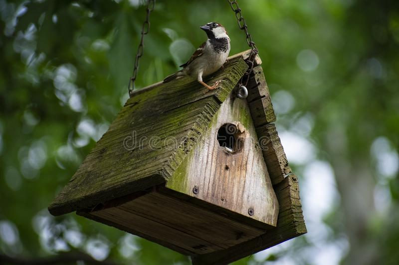 Small Male House Sparrow Perched Upon His Roof stock photo