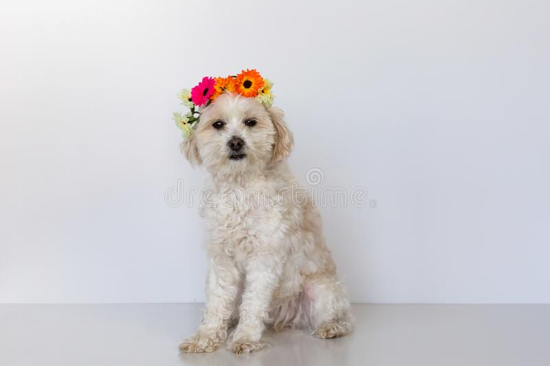 Small maltese cross female dog sitting with a flower crown royalty free stock photo