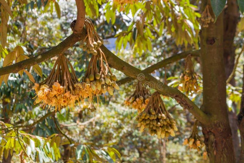 Small mango fruits growing stock photography