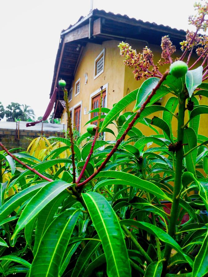 A small mango tree in a home. Srilanka, beautiful, green, garden stock photo