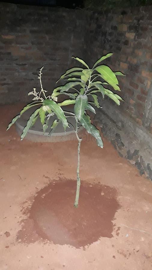 Small mango tree stock image