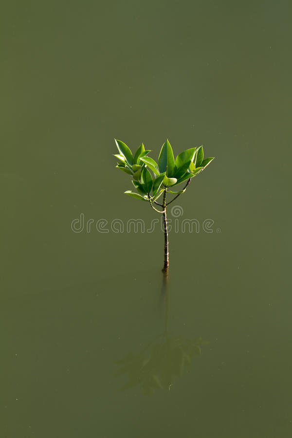 A small mangrove. The mighty tree, Mangrove will grow from this fragile sprout planted - the concept for growth and forestry royalty free stock images