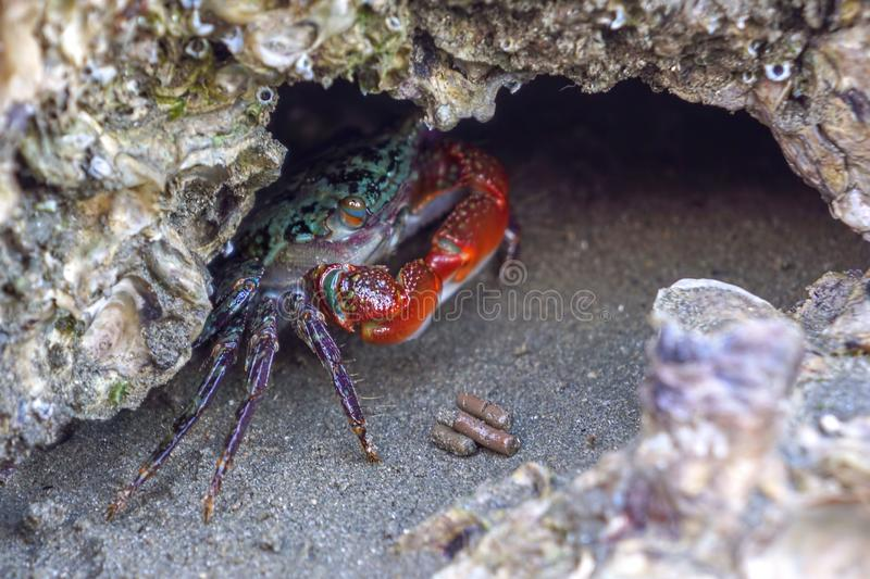 Small mangrove crab with red claws royalty free stock photography