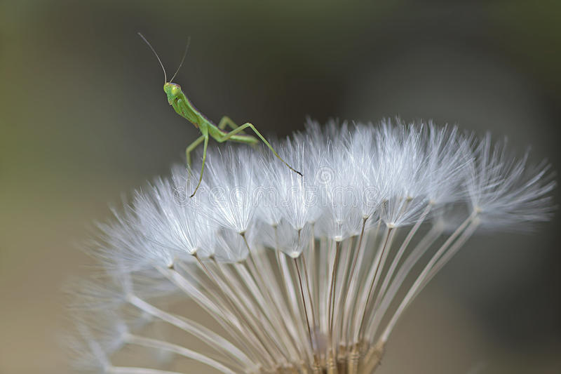 Small mantis royalty free stock images