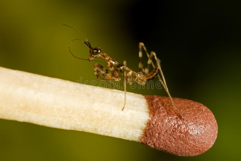 Download Small mantises close-up stock photo. Image of predator - 11665762