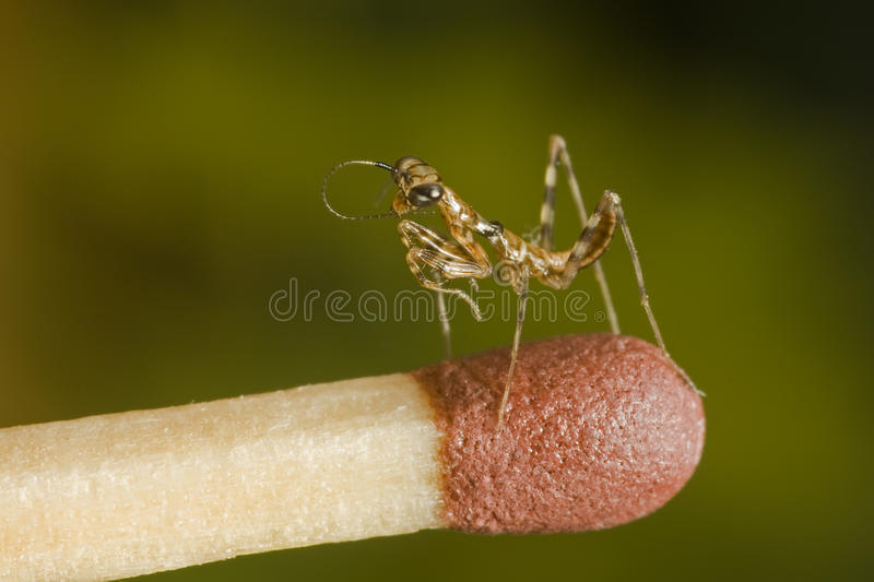 Download Small mantises close-up stock image. Image of match, insect - 11665847