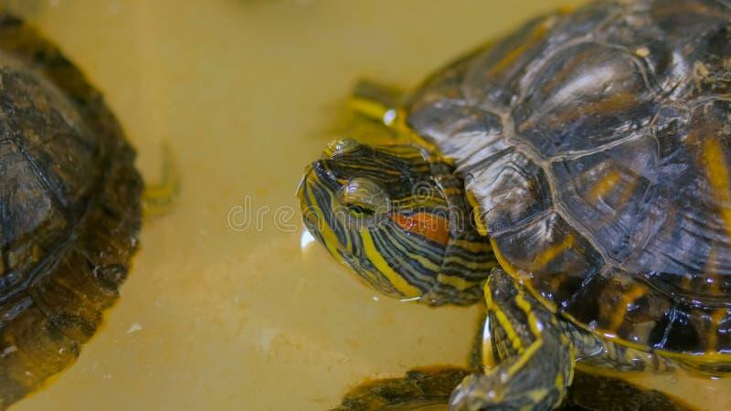 Small marine turtle swiming royalty free stock photo