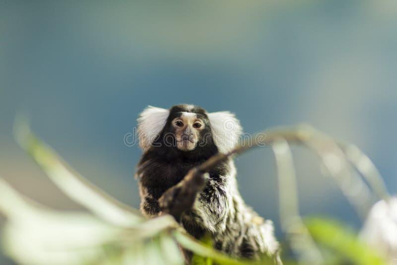 Small marmoset monkey sitting on a tree portrait, wild animal royalty free stock image