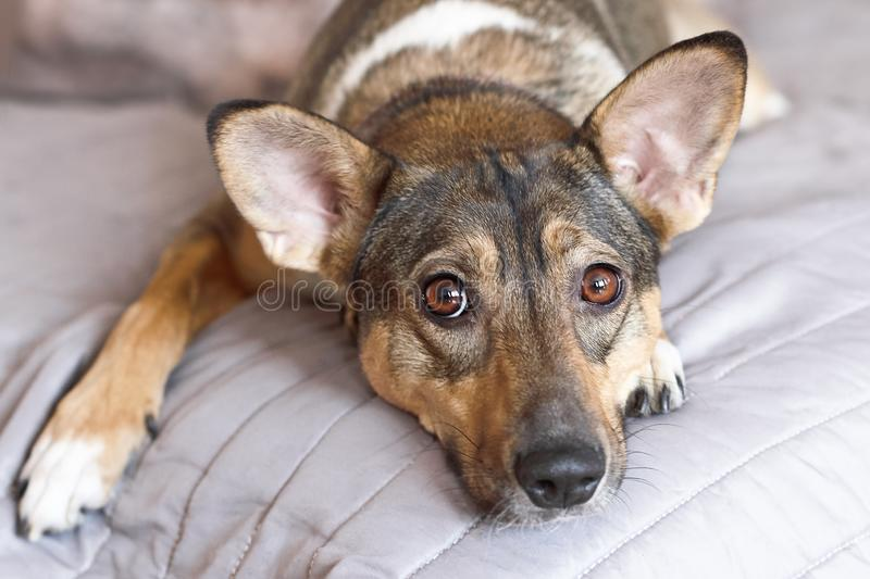 Small melancholy brown adopted dog mongrel with smart look lays on the grey cover at home and waits for owner. Dog in the bed. stock images