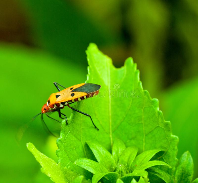 A Small Milkweed Bug on a green leaf with a green backgound in nature. Closeup macro shot of a milkweed bug, Lygaeus kalmii with a pleasant green backgound in royalty free stock photography