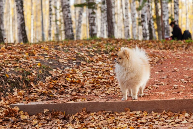 A small miniature beige Spitz dog stands on a step while walking in a park on an autumn day during fall foliage around yellow dry. A small miniature beige Spitz royalty free stock image