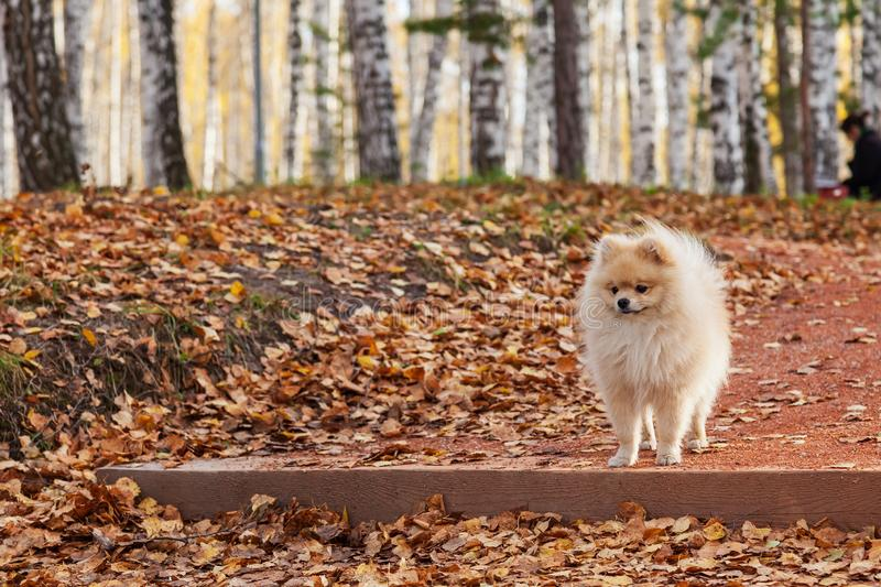 A small miniature beige Spitz dog stands on a step while walking in a park on an autumn day during fall foliage around yellow dry. A small miniature beige Spitz royalty free stock photography