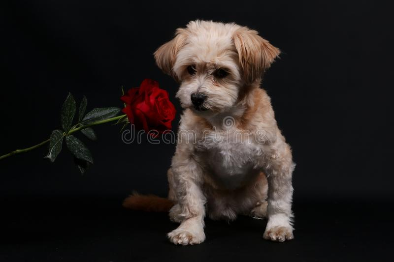 Small mixed dog with a rose stock images