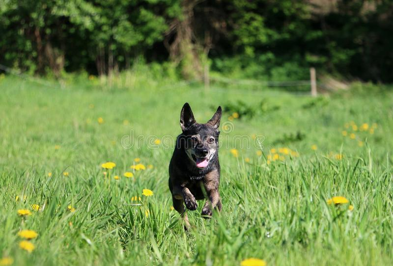 Running small mixed dog in the park stock photo