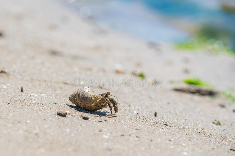 Small mollusk hermit crab on a beach stock photography
