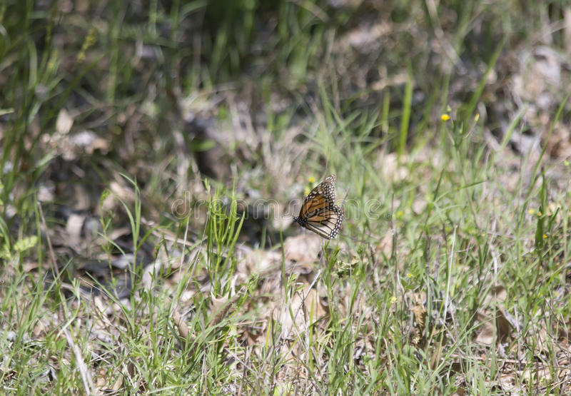 Monarch Butterfly. Small monarch butterfly perched on a thin blade of grass royalty free stock images