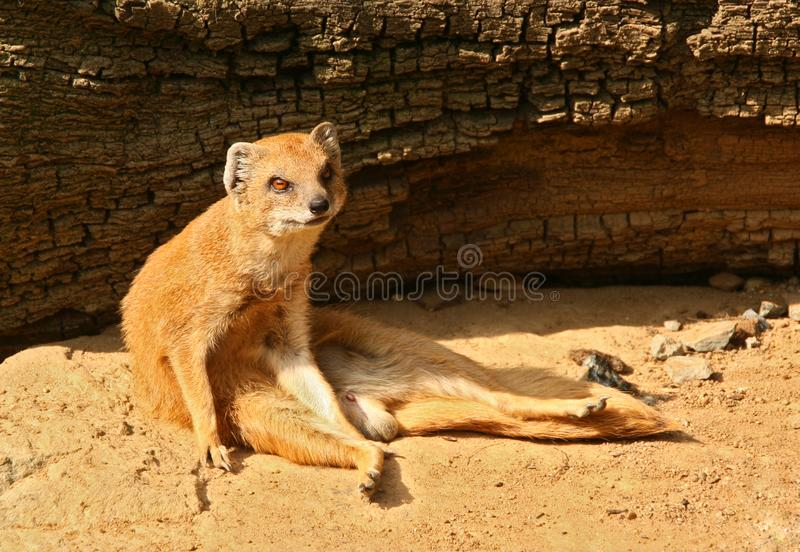 Small mongoose is relaxing and sitting in front of fallen tree. Its favourite meal are snakes royalty free stock photo