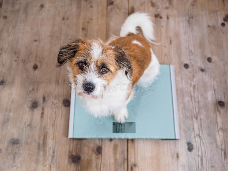 Little dog on a bathroom scale looking into the camera royalty free stock image