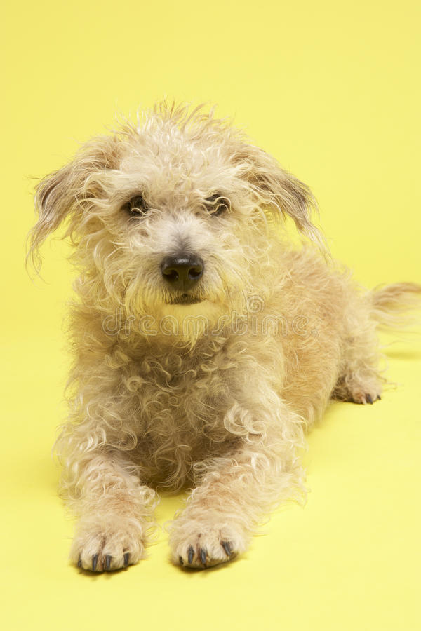Download Small Mongrel Dog Sitting In Studio Stock Photo - Image: 10001632