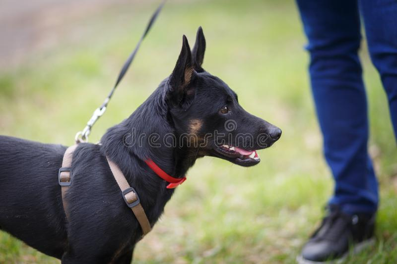 A small mongrel dog on a walk with the hostess on the lawn. Stands and looks away royalty free stock images
