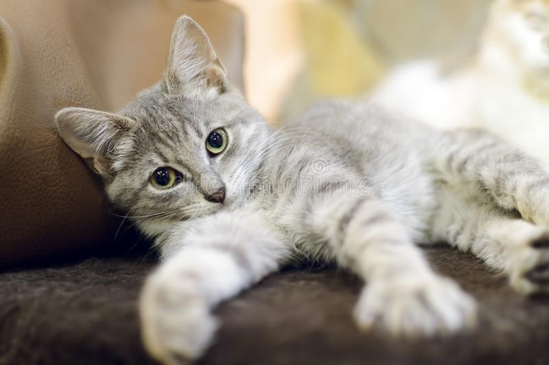 A small, mongrel gray tabby kitten lies on the couch royalty free stock images