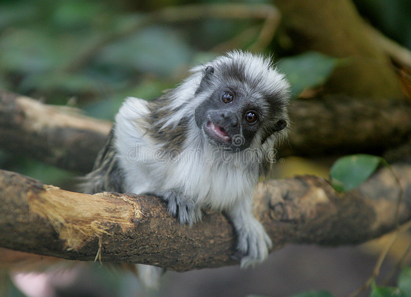 Small monkey 2. Dead's-head monkey royalty free stock photo
