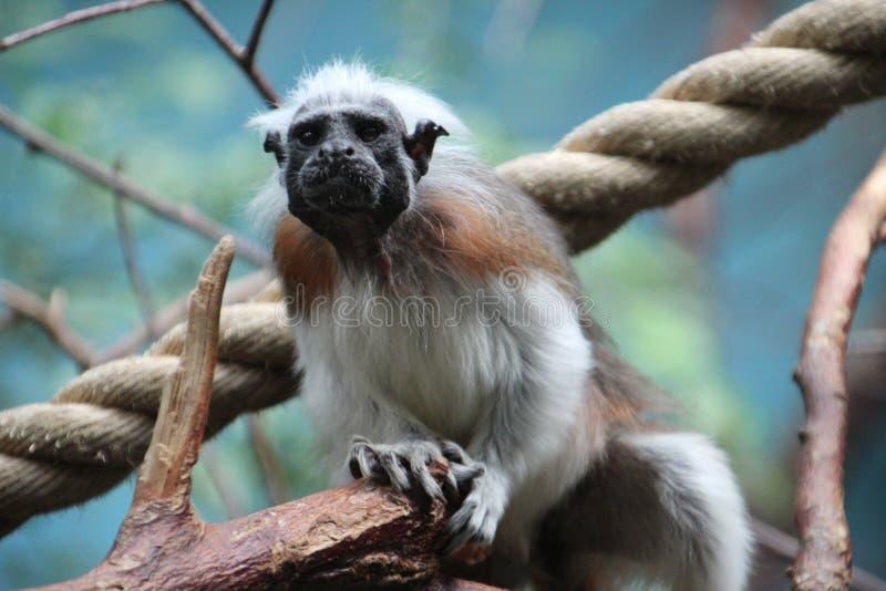 Small monkey in the Rotterdam Zoo. Small monkey in the Blijdorp Rotterdam Zoo stock photos