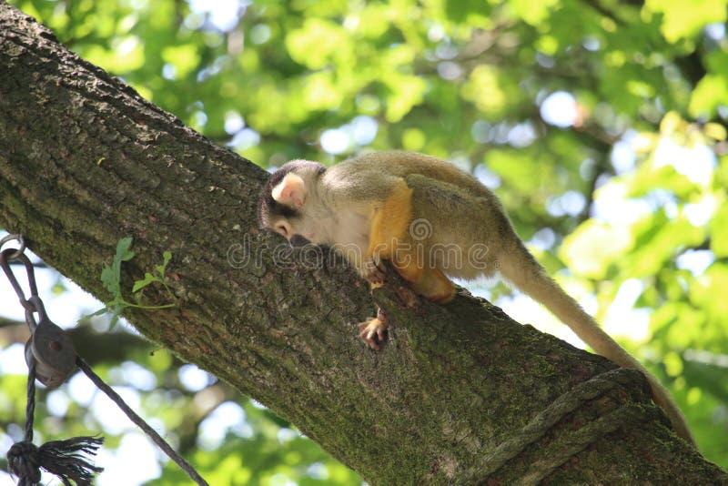 Small Monkey Close Up stock photography
