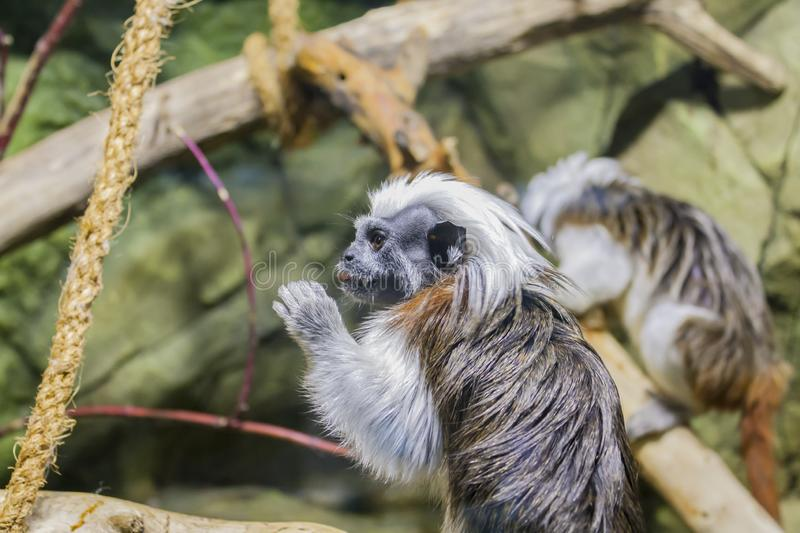 A small monkey that eats something royalty free stock photo