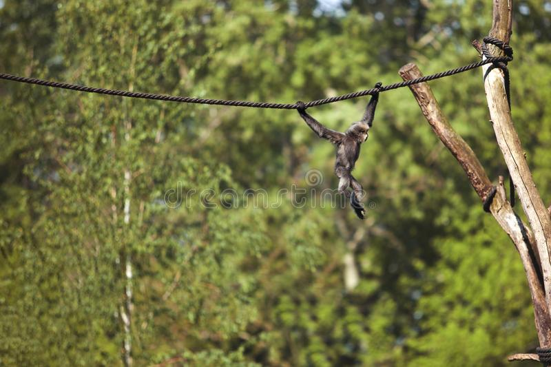 A small monkey on a rope royalty free stock image