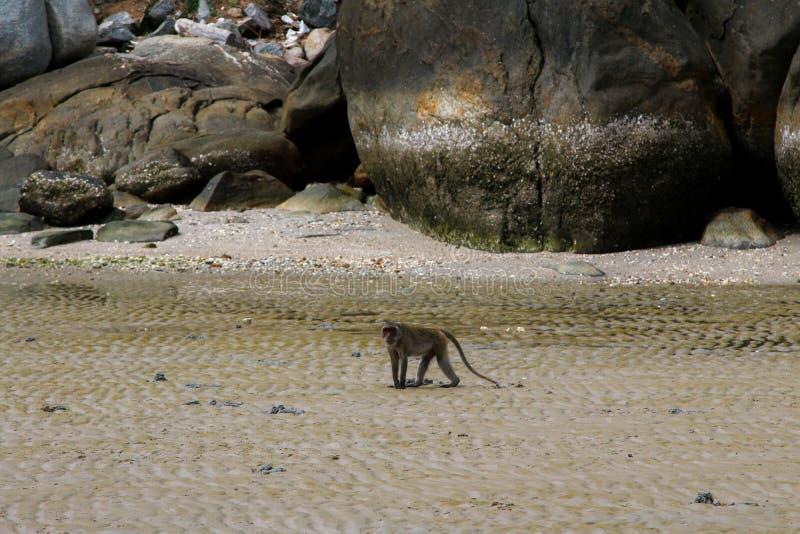 Small Monkey swimming seaside. In Hua Hin stock photography