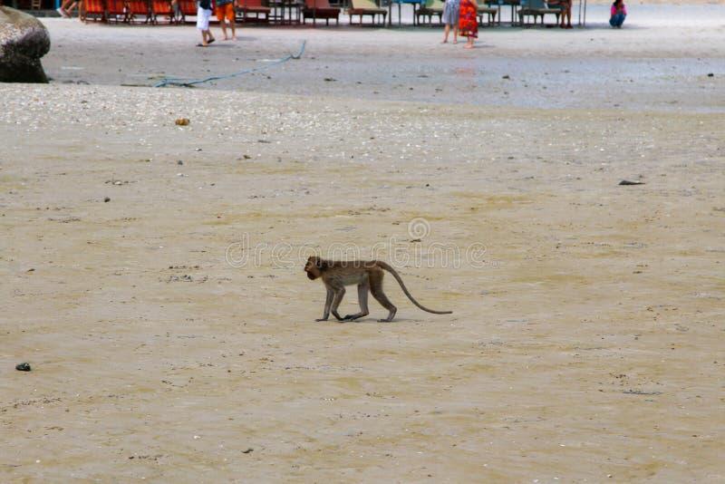 Small Monkey swimming seaside. In Hua Hin royalty free stock photo