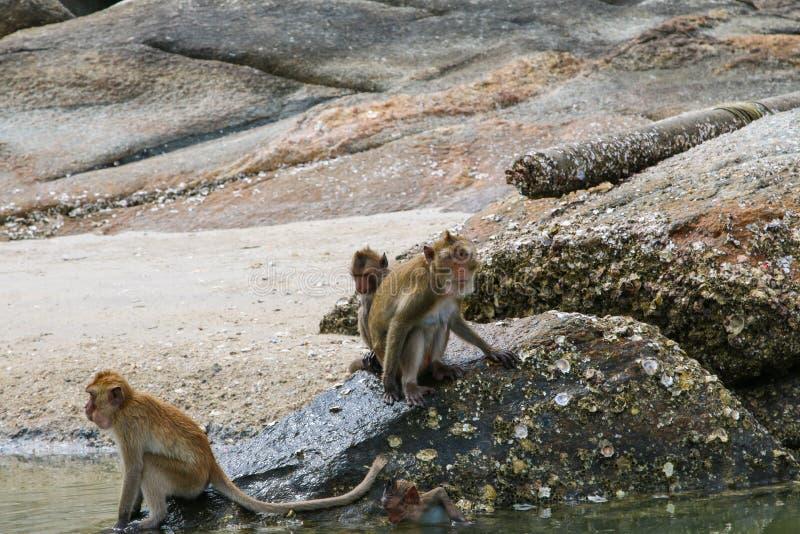 Small Monkey swimming seaside. In Hua Hin stock photos