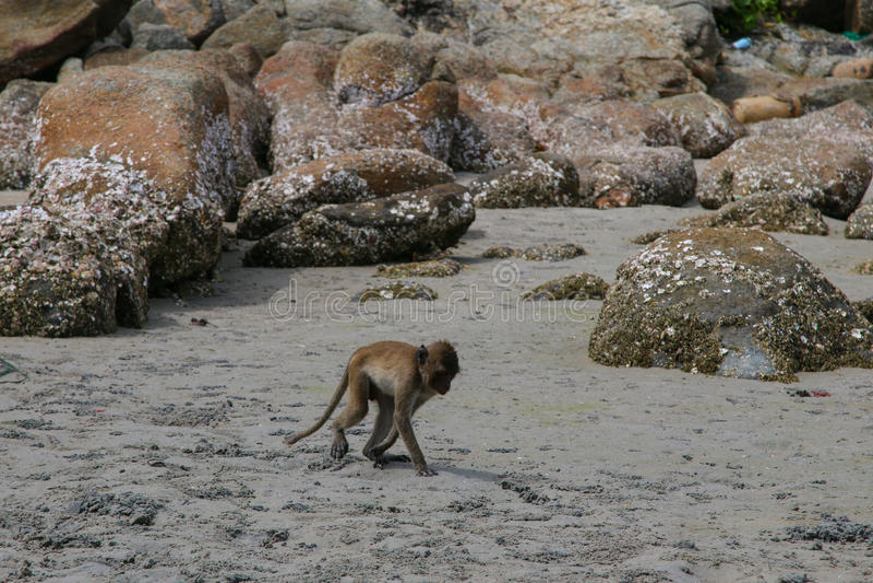 Small Monkey swimming seaside. In Hua Hin stock image