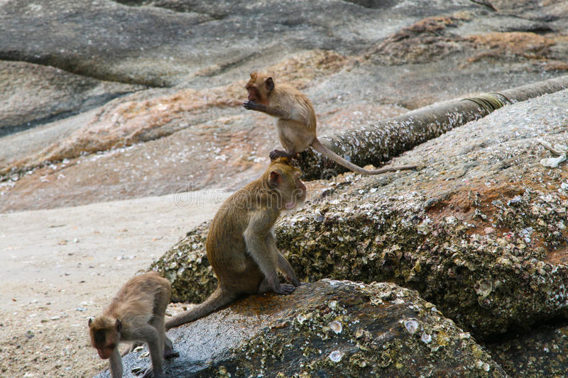 Small Monkey swimming seaside. In Hua Hin royalty free stock images