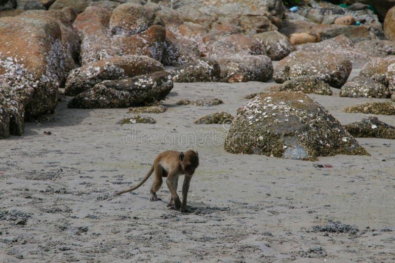 Small Monkey swimming seaside. In Hua Hin royalty free stock photography