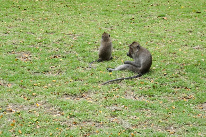 Small monkeys playing on the grass royalty free stock photography